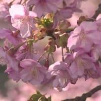 早咲きの桜 『 河津桜まつり』 始まる・静岡 2020年02月10日