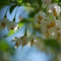 ●我が家の5月の花(9) エゴノキの花 鳥さんからのプレゼント(@_@)