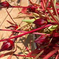 洛神花(ローゼル)収穫