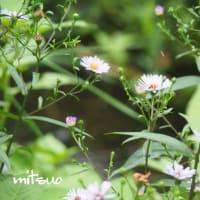 「友禅菊の花が咲きました」 MY GARDEN 2019.08.19撮影