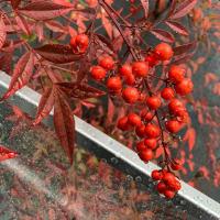 オサンポ walk - 植物plant: 雨に濡れなんてん a nandina in the raining
