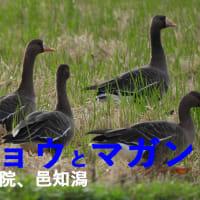石川のコハクチョウとマガン2-正院、邑知潟