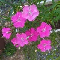 ナデシコ4色咲きだした