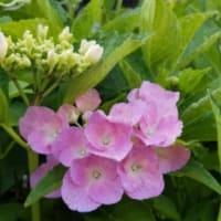 梅雨に似合う花、紫陽花が開花