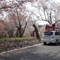 磯部の桜も満開ですー今すぐ行かなければ見頃をすぎてしまいます