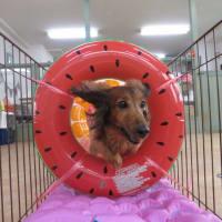 本日は【犬の整体day】でした(*^-^*)  犬のしつけ教室@アロハドギー