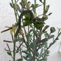 7月の寄せ植え鉢-H 他:ハボタンが伸びて咲く