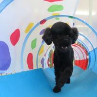 新入犬のトイプードルの【大くん】 犬のしつけ教室@アロハドギー