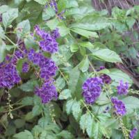 夏の花の写真を取り忘れて、、、、、t