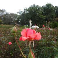神代植物公園(調布市)の華やかなバラたち -The Autumn Rose Festival on Oct. 20, 2015-