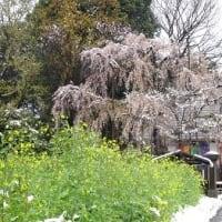 雪の中の桜 少し寒くて寂しそう