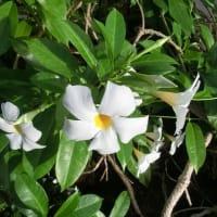 マンデビラ・サマードレスの花は