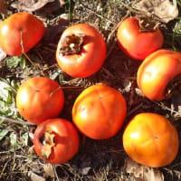 今年最後の甘柿を収穫、余りは鳥たち用に
