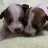 生後15日目の子犬