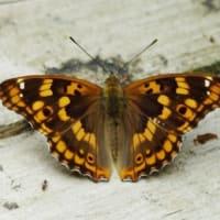 瑠璃色の美しい蝶 コムラサキ