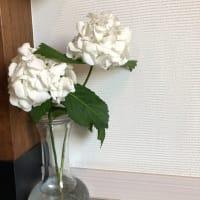 夏至と白いアジサイ。