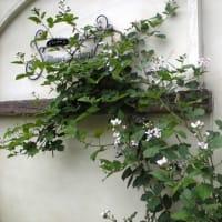最近は ~ブラックベリーの花&テラコッタその後