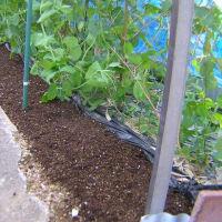 実豌豆(グリンピース)開花施肥した