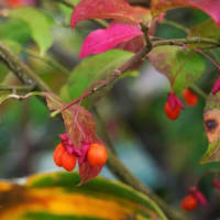 紅葉は コマユミ から