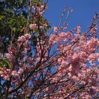 💖菱餅の上に小笠原雛・庭のサクラなど💖