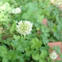 草の匂いまでが甦る懐かしい花