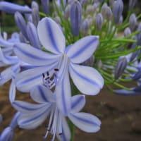 ムラサキクンシラン(紫君子蘭、アガパンサス)