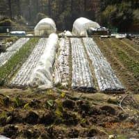 タマネギの畝の草抜き タマネギ・ニンニクにジマンダイセンを散布しました
