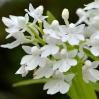 ウチョウランの仲間(4) 「純白花」
