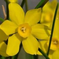 鉢植のスイセン(2) 「ベビームーン」