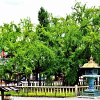 👼🐉京都【東本願寺】樹齢400年の《大銀杏》