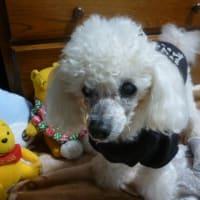 老犬ラスさん…病院に行ってバリカンしてもらいました (o^∇^o)ノ
