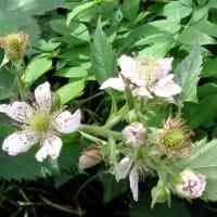今年もブラックベリーの花が・・・