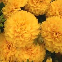 コレオプシス・ゴールデンスフィアーの花は