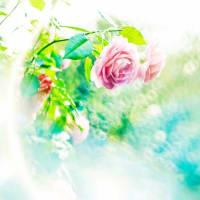 オールドレンズで薔薇の花をカシャリ!