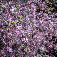 春色、ここにも【妙本寺】自粛の週末、祖師堂脇の海棠をお届け