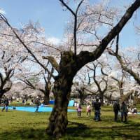 都立小金井公園の春・・桜