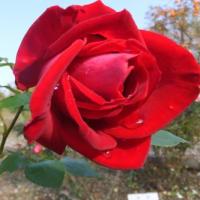 10月31日 バラ園 今年最後の作業