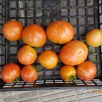 今日の収穫 トマト