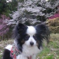 コロンと自宅の桜を愛でました(⋈◍>◡<◍)。✧♡