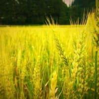 南部地方の「もち小麦」