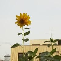 向日葵咲きました^^
