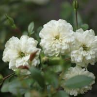 秋バラ開花