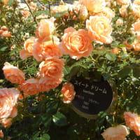 しっとりと、潤っている薔薇たち ~バラ便り(6)~