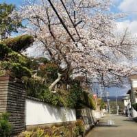 近所の桜も満開に