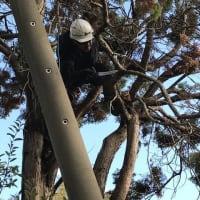 電線に枝が絡み又幹が虫にむしばまれ倒木の危険が出て来たのでやむなく伐採