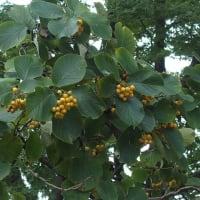 マルバチシャノキ(丸葉萵苣の木)