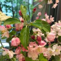 ハナカイドウ、ナナカマド、シャガの花