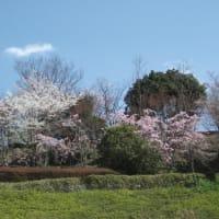 早くも桜散る