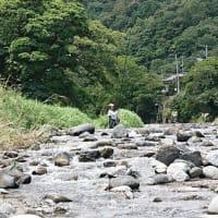 河津川鮎、拾い釣り