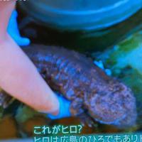 TVで大山椒魚(おおさんしょううお)見ましたよ!